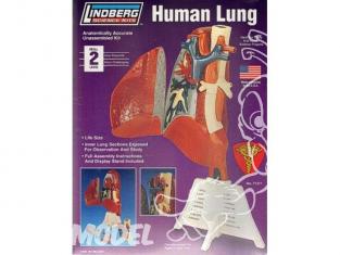 Lindberg maquettes educative 71311 Poumon Humain 1/1